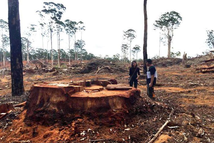Print Email Facebook Twitter More Felled tree stump in Nelson forest  Posted Tue at 6:45pm  Environmentalists say this tree was felled in Nelson forest and was up to 300 years old