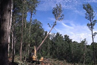Machine felling a tree in a south-east NSW native forest logging coupe.