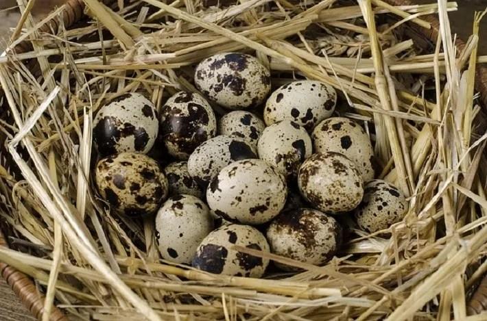 Twelve Benefits of Quail Eggs