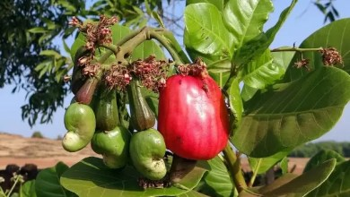 Photo of Why Tropical Eastern Uganda Should Concentrate On Cashew nut Farming