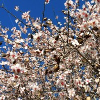 Pretty in Pink: The Almond Blossom of Andalucía
