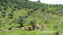Goats on the hillside near Zafarraya