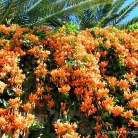 Hark!  Orange Trumpets herald the warm winter weather