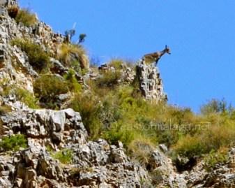 Mountain goat near Canillas de Aceituno