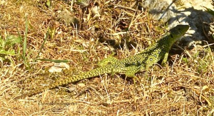 Lizard spotted at El Torcal