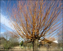 The tree of many uses