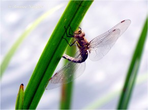 Damselfy or dragonfly
