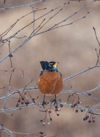 One of the noisy robins in the ash tree in our front yard...