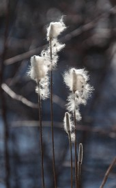 Fluffy seedpods backlit by the sun along Taft Road. (Can anyone identify this plant for me?)