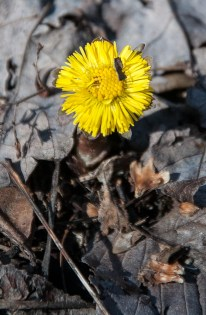 Coltsfoot blooming along East Street!