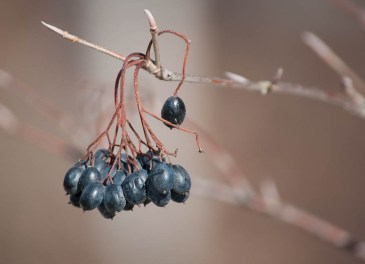 A cluster of little black berries on a small tree along Taft Road. Anyone care to identify these for me?