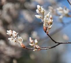 Shadbush (Amelanchier arborea) blooming along East Street yesterday.