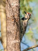 A yellow-bellied sapsucker drills his signature holes in a poplar tree by the pond. We saw many other critters enjoying the sap including butterflies and a ruby-throated hummingbird.