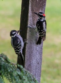 A hairy woodpecker and its fledgling investigate our bird feeder post this morning.