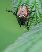 An invasive Japanese beetle chews on a leaf by the pond.