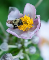 A bumble bee works a bloom in our flower garden.