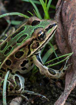 A norther leopard frog in on the shore near Sand Bar State Park.