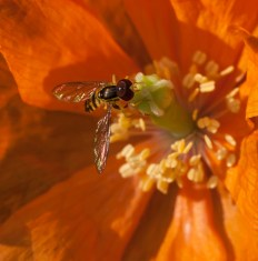 An unidentified fly on a poppy in one of our front gardens.