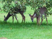 A pair of young deer--one with red, recently de-velveted antlers--munch apples along Route 116 yesterday.