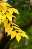 Bright yellow leaves of our Amur cork tree glow in the overcast light.