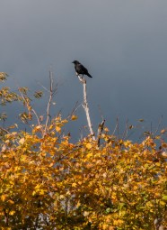 Grey clouds, bright leaves and black crow near Boyer's Orchard in Monkton.