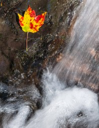 A bright solitary maple leaf and rushing water in Fargo Brook.