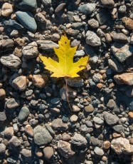 A solitary maple leaf on the bank of the Winooski River.
