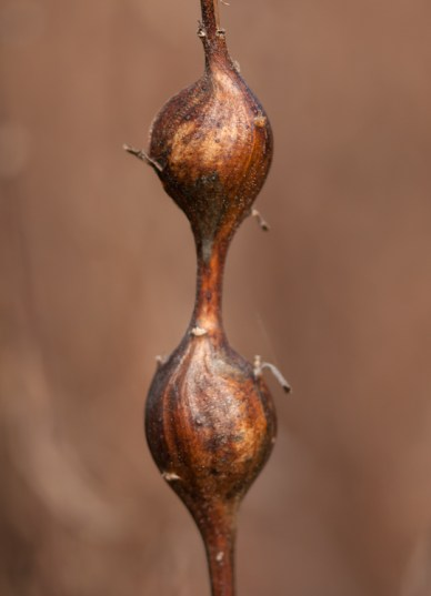 A coppery pair of goldenrod galls in our front field
