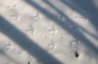 Turkey tracks in the snow...