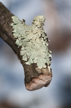 Lichen encrusts an snapped apple branch in our front field.