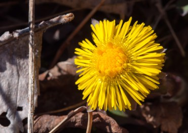 First bloom of the season! A coltsfoot blossom glows in the sun along the driveway yesterday afternoon.