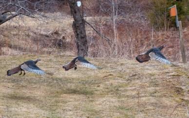 A trio of turkeys take flight up along Shaker Mountain Road.