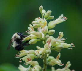 A bumble bee busies the buckeye blossoms by the back deck. Beautiful!