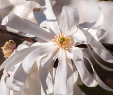A wide open magnolia blossom on the tree by our back deck. Already it's dropping its petals...