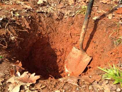 digging a hole for the new lapins cherry tree