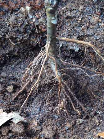 Planting the lapins cherry tree 5
