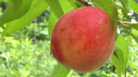 An organic peach grown on our homestead. It is a few weeks from being ready for harvist