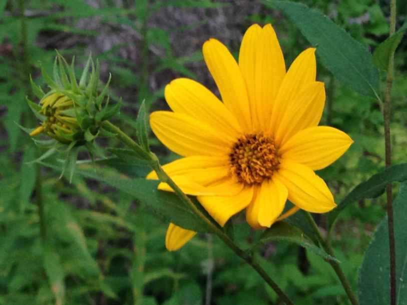 Beautiful yellow flower we found on the homestead