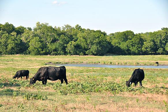 Delta240-cattle