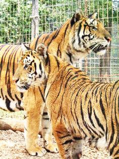 Siberian tigers at Tiger Creek Wildlife Refuge in Tyler Texas