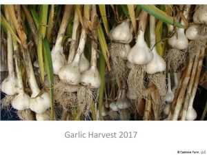 2017 Garlic Harvest