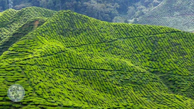 Cameron Highlands-32
