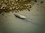 Suokrokotiili laiskottelee matalassa vedessä