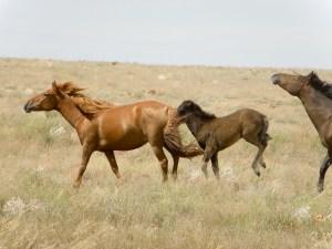Hevostelua arolla