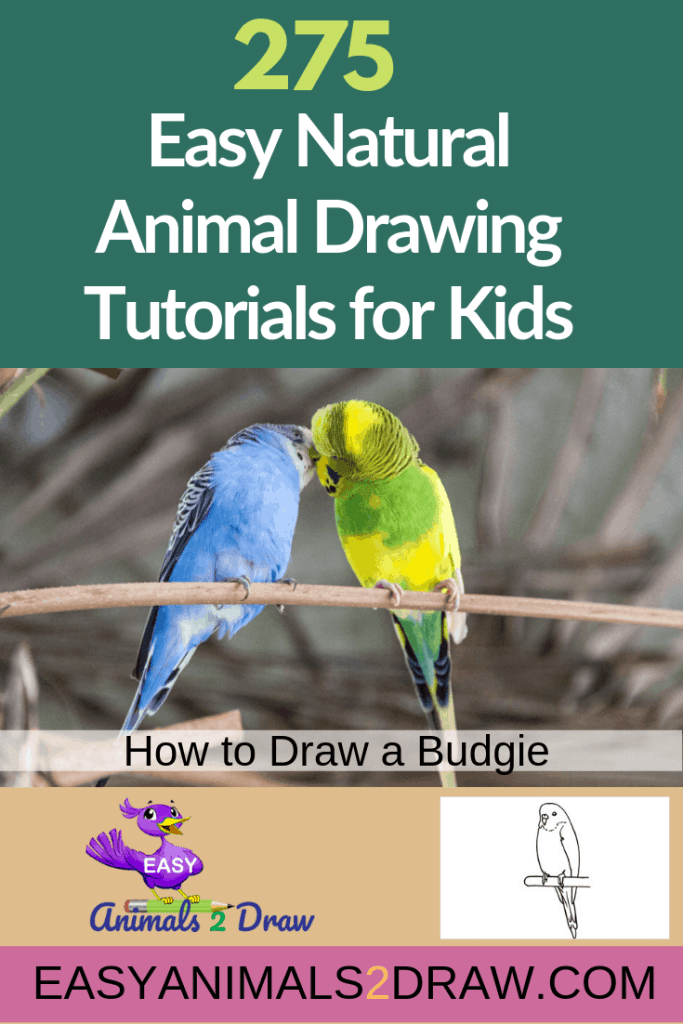 Pinterest image How to draw a Budgie