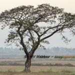 Khadira – Acacia catechu – Uses, Qualities, Ayurveda Details