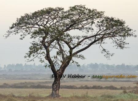 Acacia catechu tree