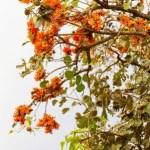 Palasha – Butea monosperma Uses, Dose, Research