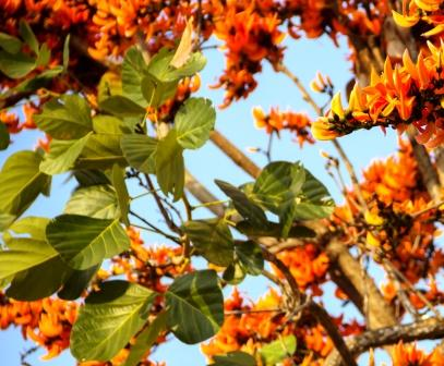 Palash Home Remedies: Delayed Periods, Intestinal Worms, Piles