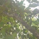 haritaki leaves